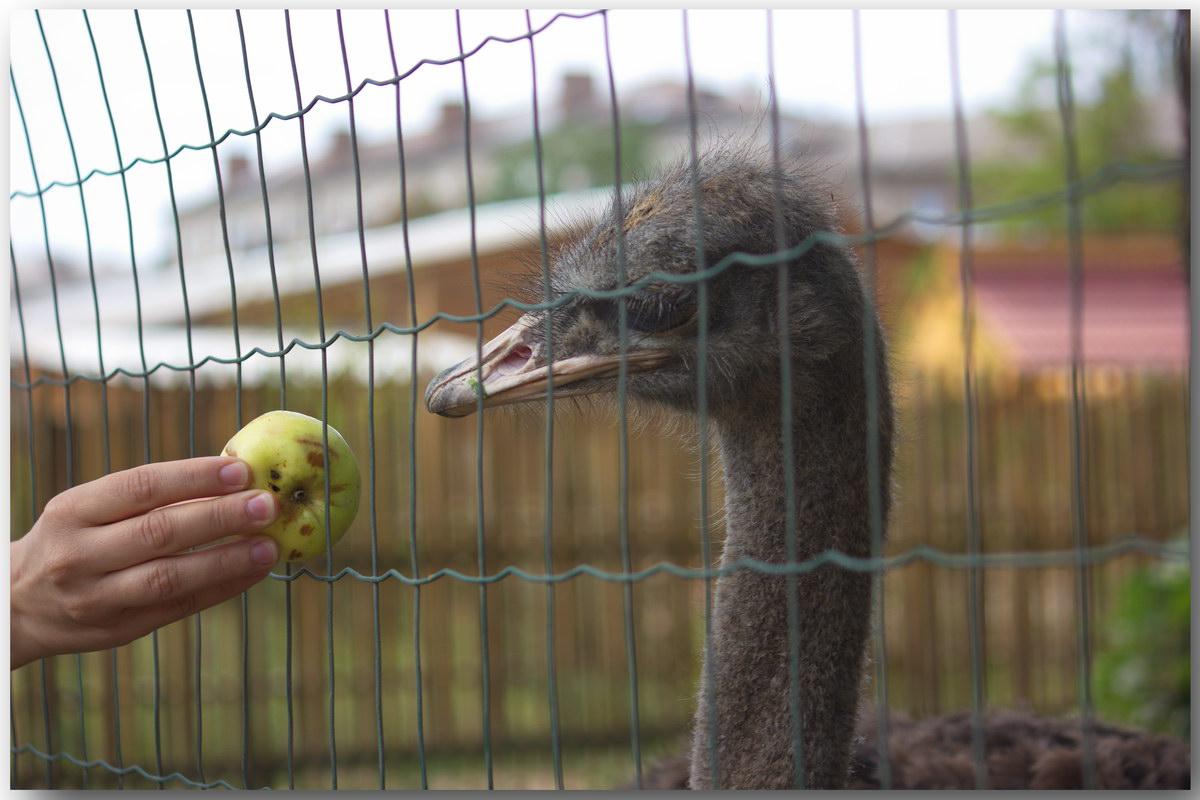 Краматорск страус